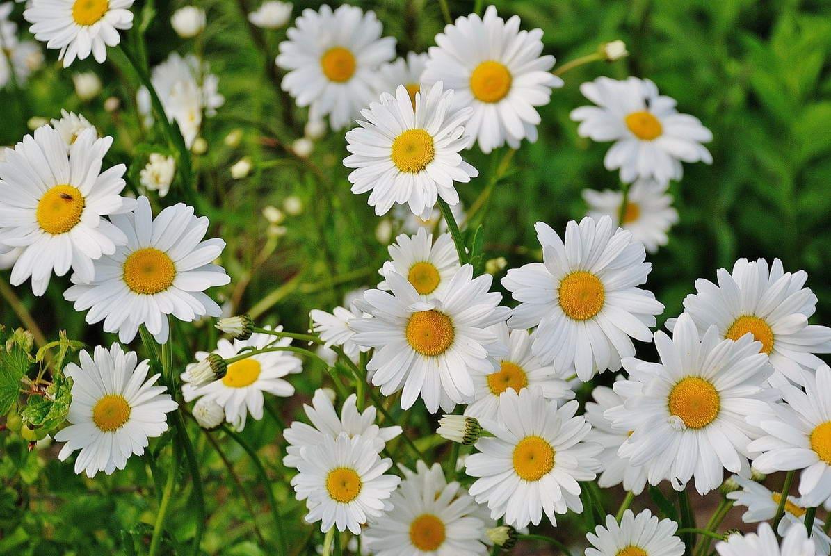 Floarea Lunii Aprilie Margareta
