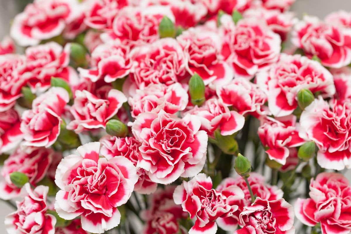 Floarea Lunii Ianuarie Garoafa