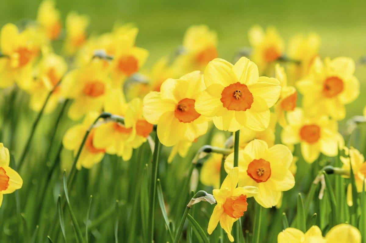 Floarea Lunii Martie Narcisa