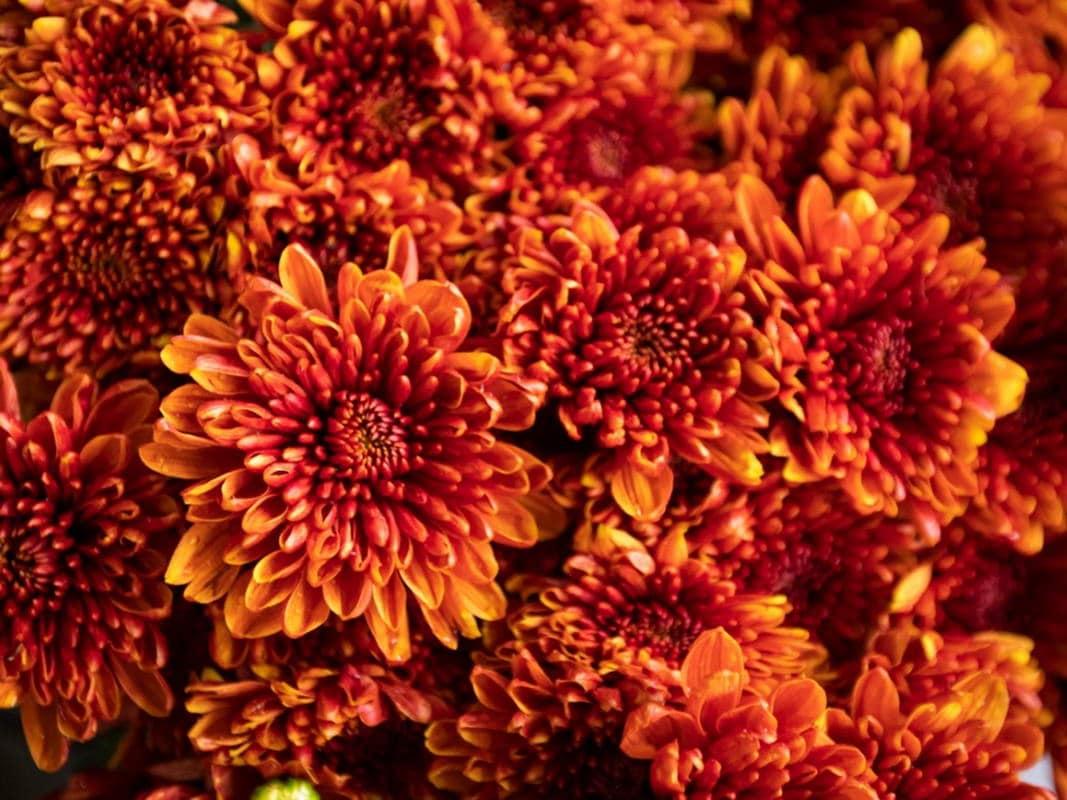 Floarea Lunii Noiembrie Crizantema